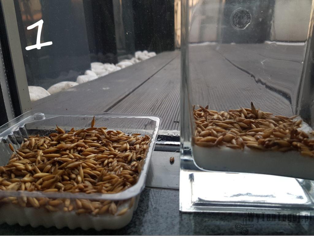 Oats grow - day 1
