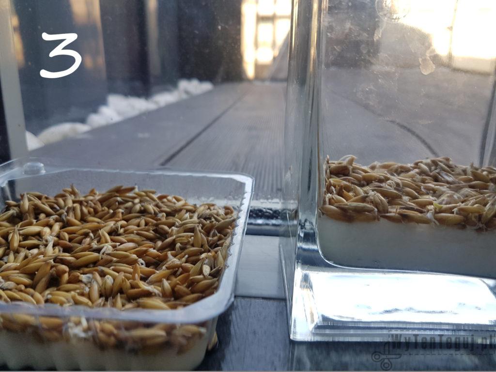 Oats grow - day 3
