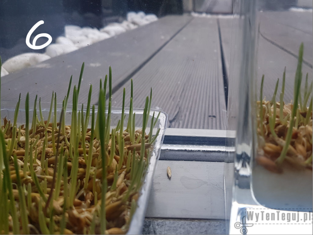Oats grow - day 6