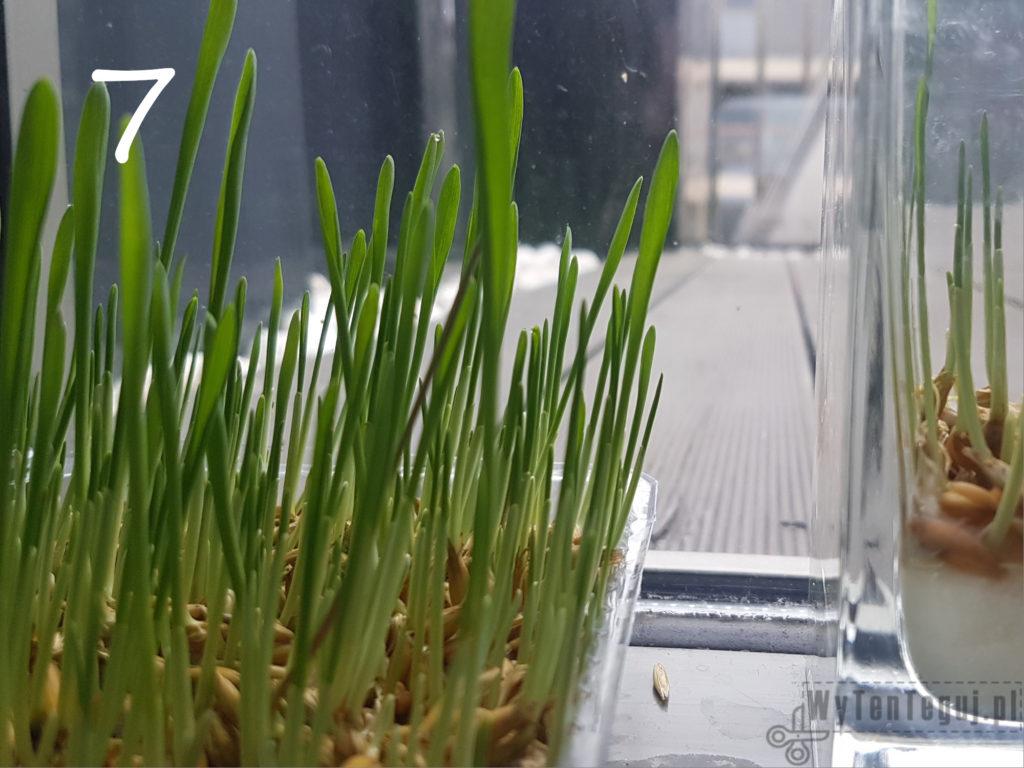 Oats grow - day 7