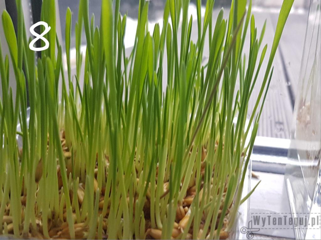 Oats grow - day 8