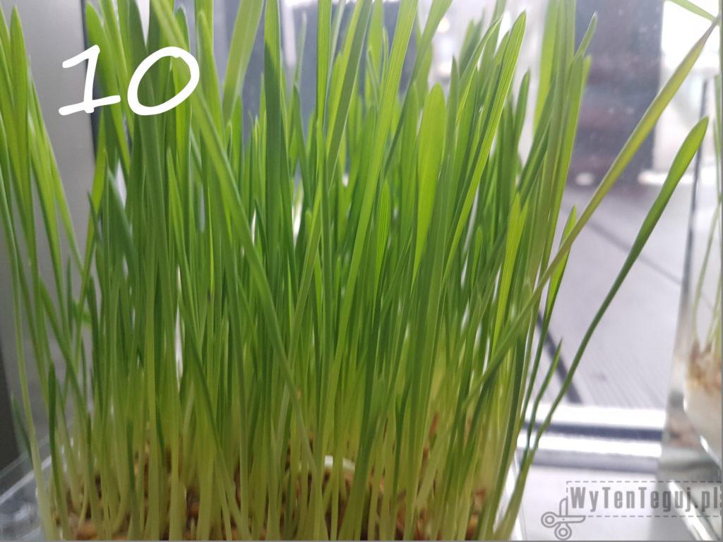Oats grow - day 10