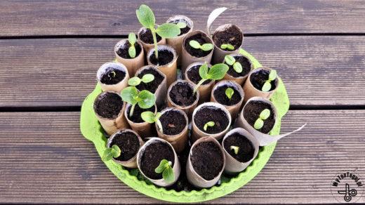 Wysiew nasion w rolkach po papierze